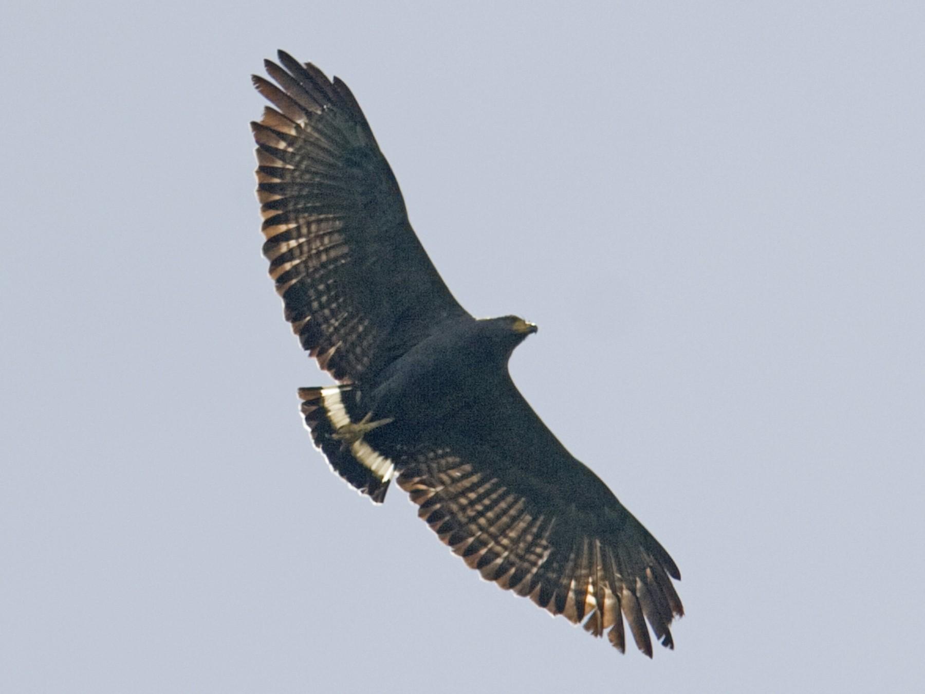Solitary Eagle - Brian Sullivan