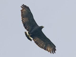 - Solitary Eagle