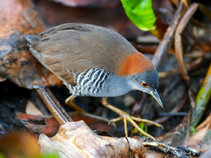 Gray-breasted Crake - Joao Quental JQuental