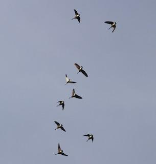 Snow Goose, ML48971561