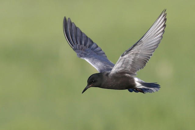 Black Tern ML49012821