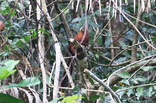 - Rufous Coucal