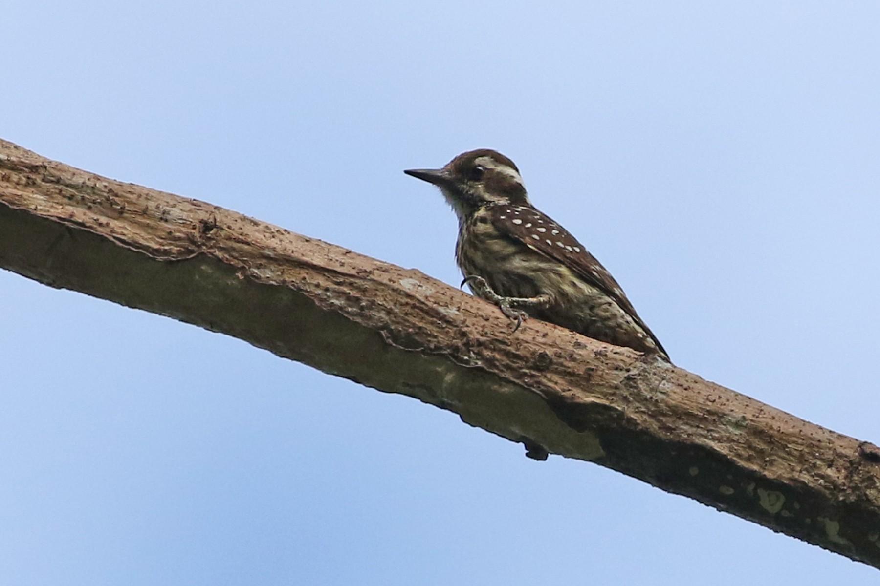 Philippine Woodpecker - Charley Hesse