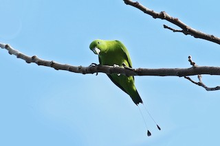 - Green Racquet-tail
