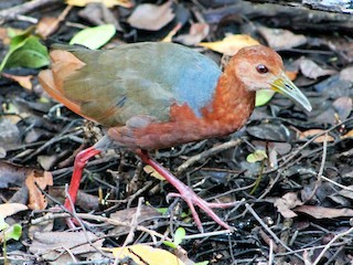 - Rufous-necked Wood-Rail