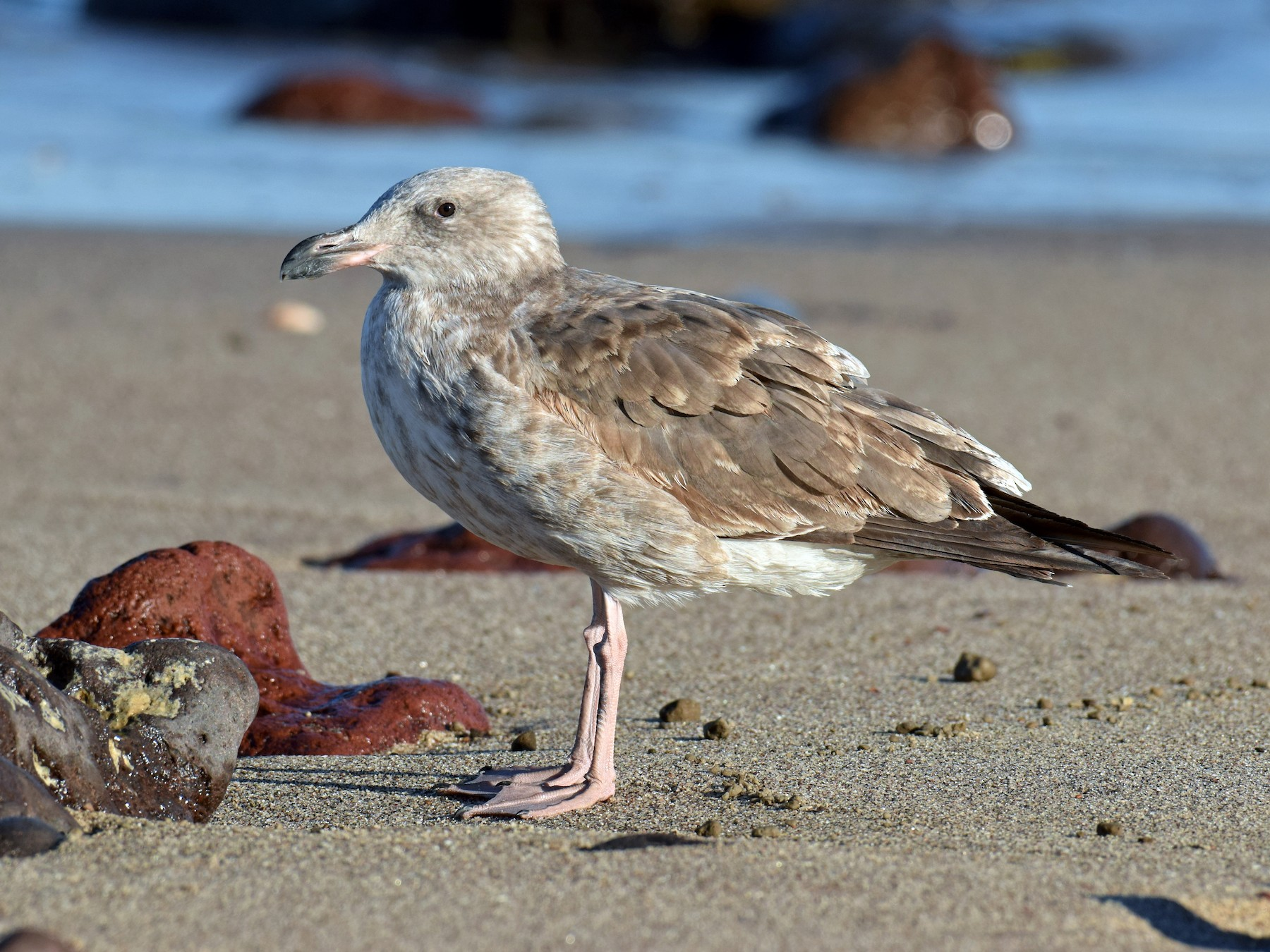 Yellow-footed Gull - Ryan O'Donnell