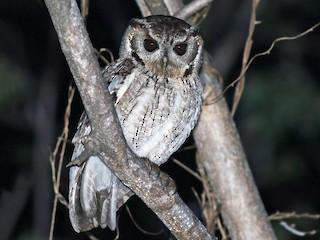 - Balsas Screech-Owl