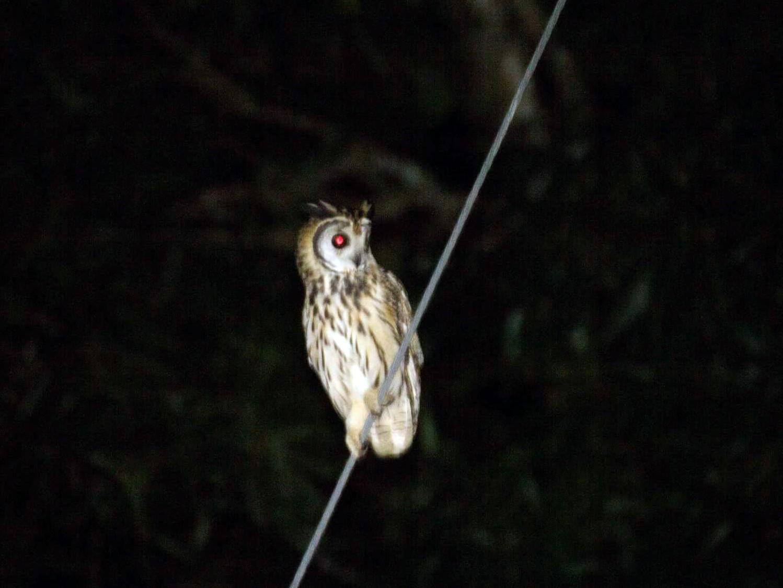 Striped Owl - Jorge Eduardo  Ruano