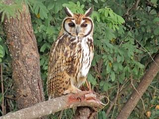 - Striped Owl