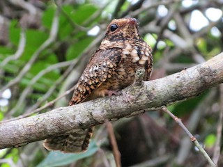 - Spot-tailed Nightjar