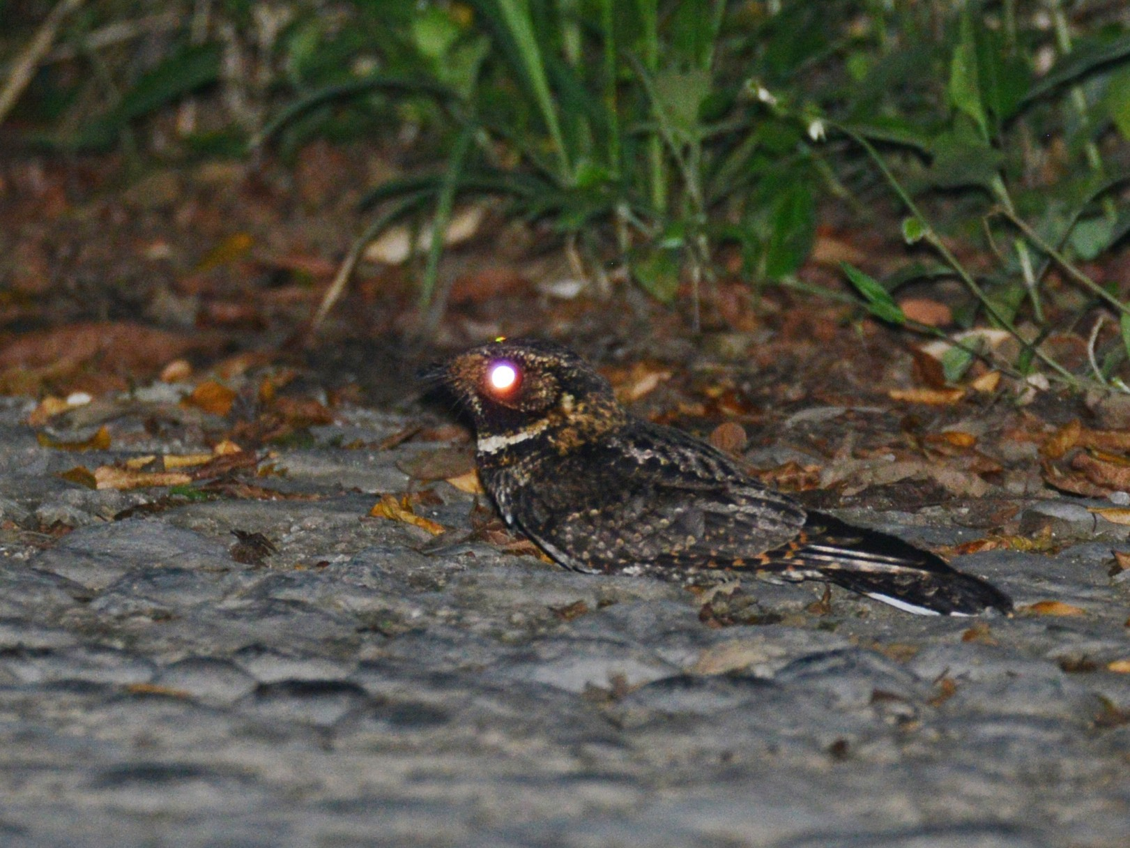 Tawny-collared Nightjar - Alan Van Norman