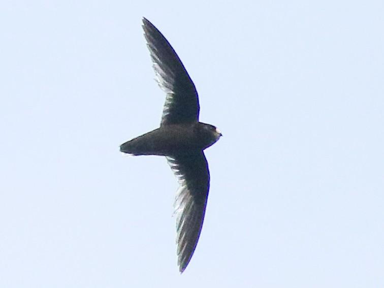 White-fronted Swift - Andrew Spencer