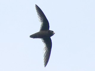 - White-fronted Swift