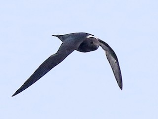 - White-naped Swift