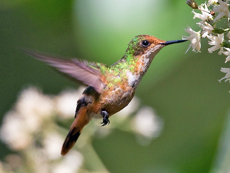 Short-crested Coquette - Ryan Shaw