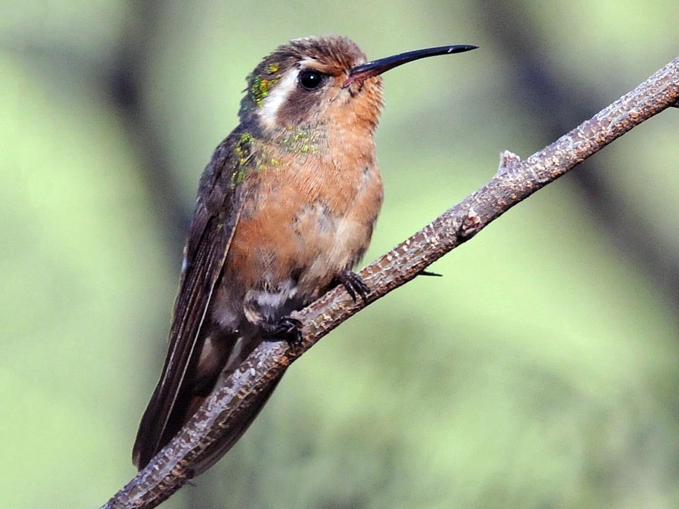 Xantus's Hummingbird - Steven Mlodinow