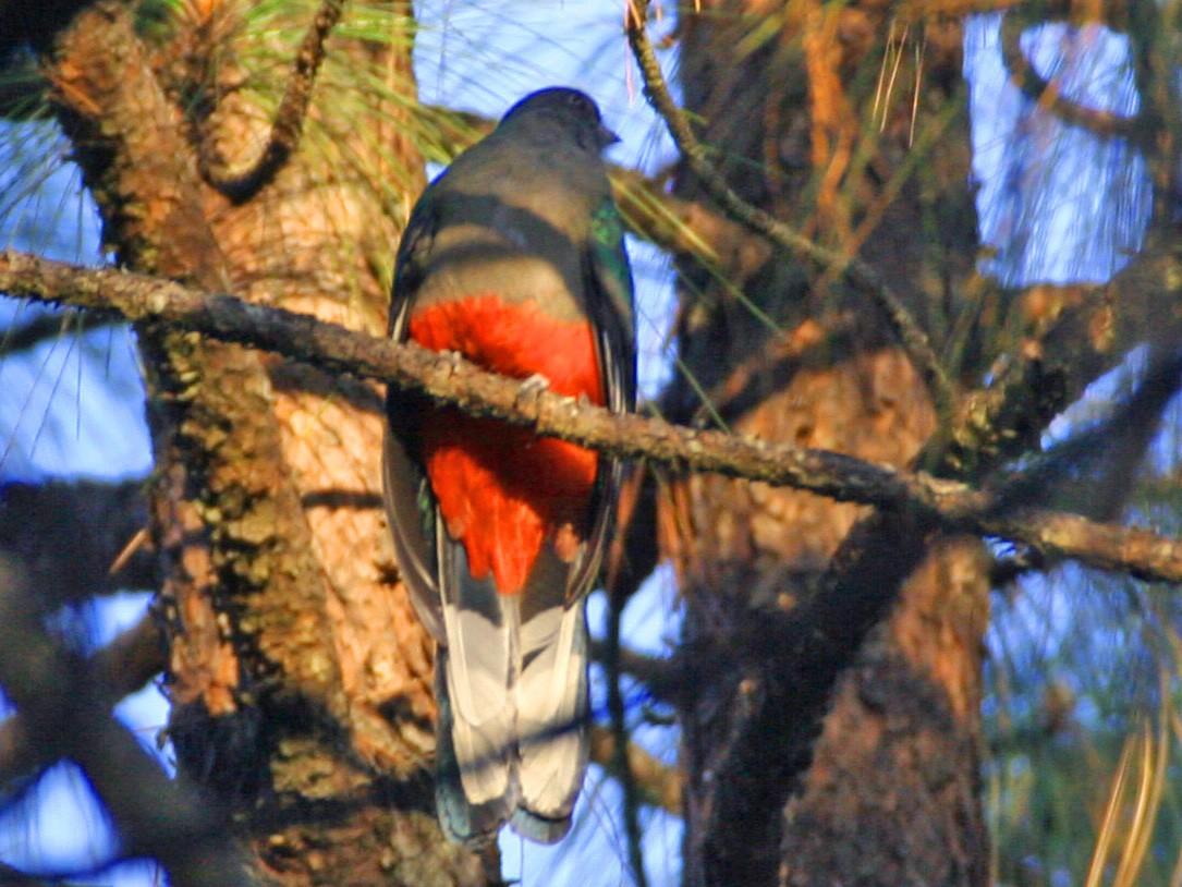 Eared Quetzal - Edward  Brinkley