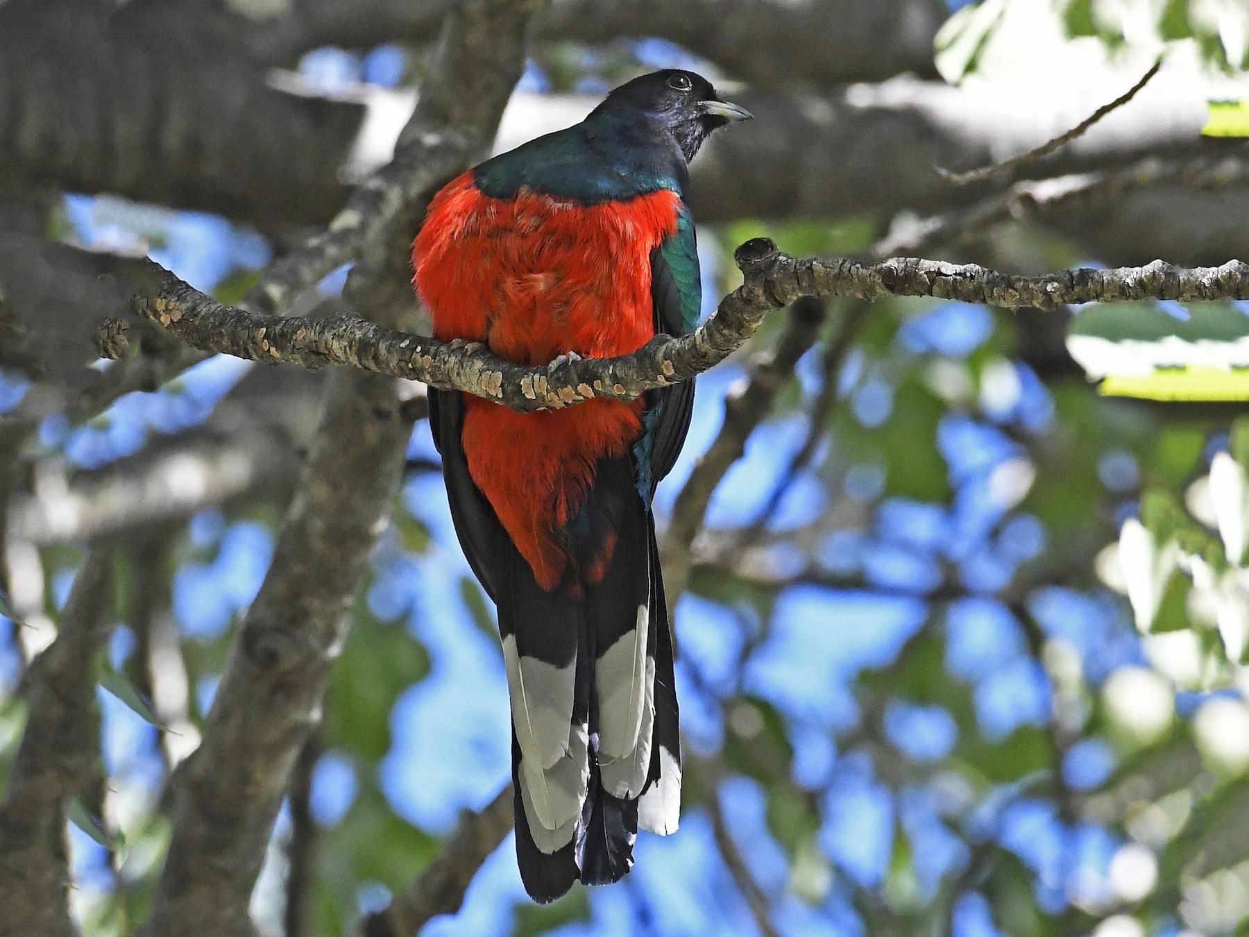 Eared Quetzal - David Krueper
