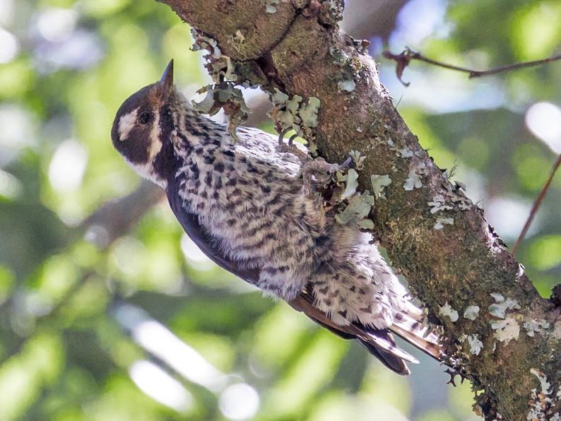 Strickland's Woodpecker - Rolando Chávez