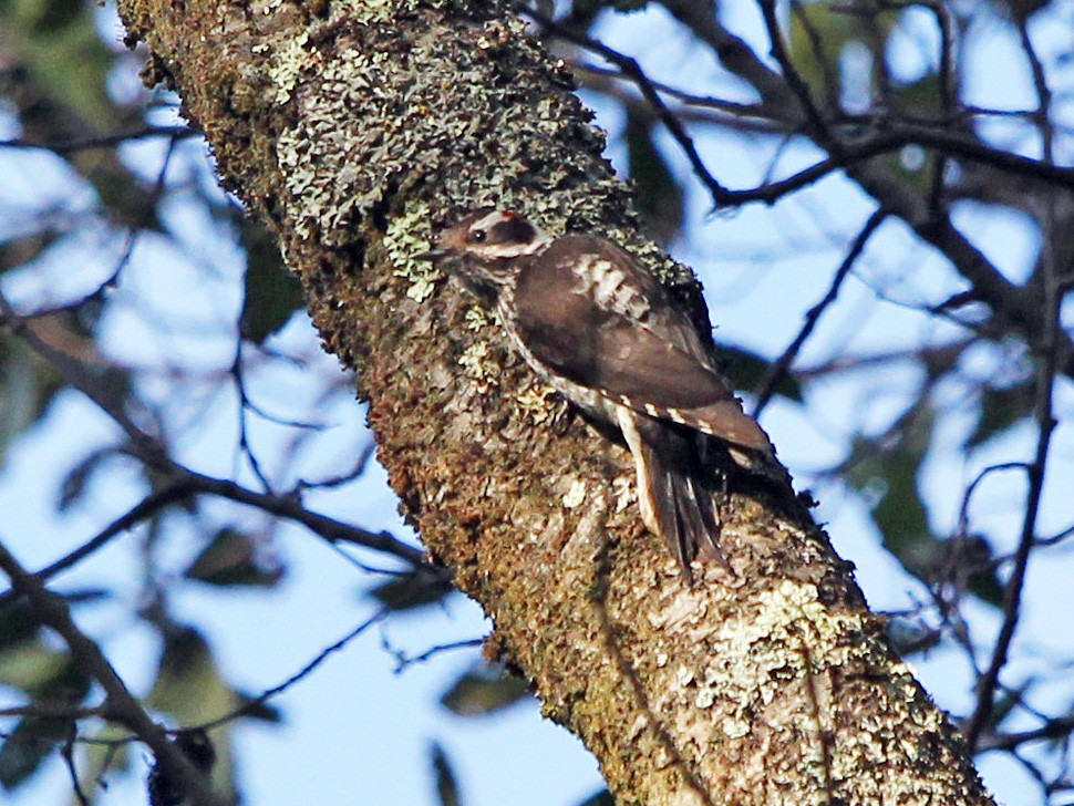 Strickland's Woodpecker - Scott Olmstead