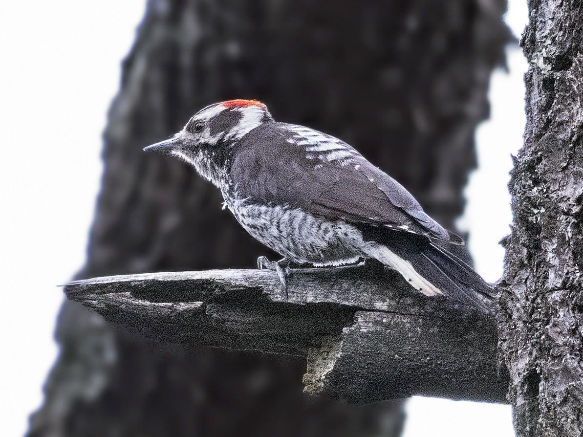 Strickland's Woodpecker - Carl Giometti