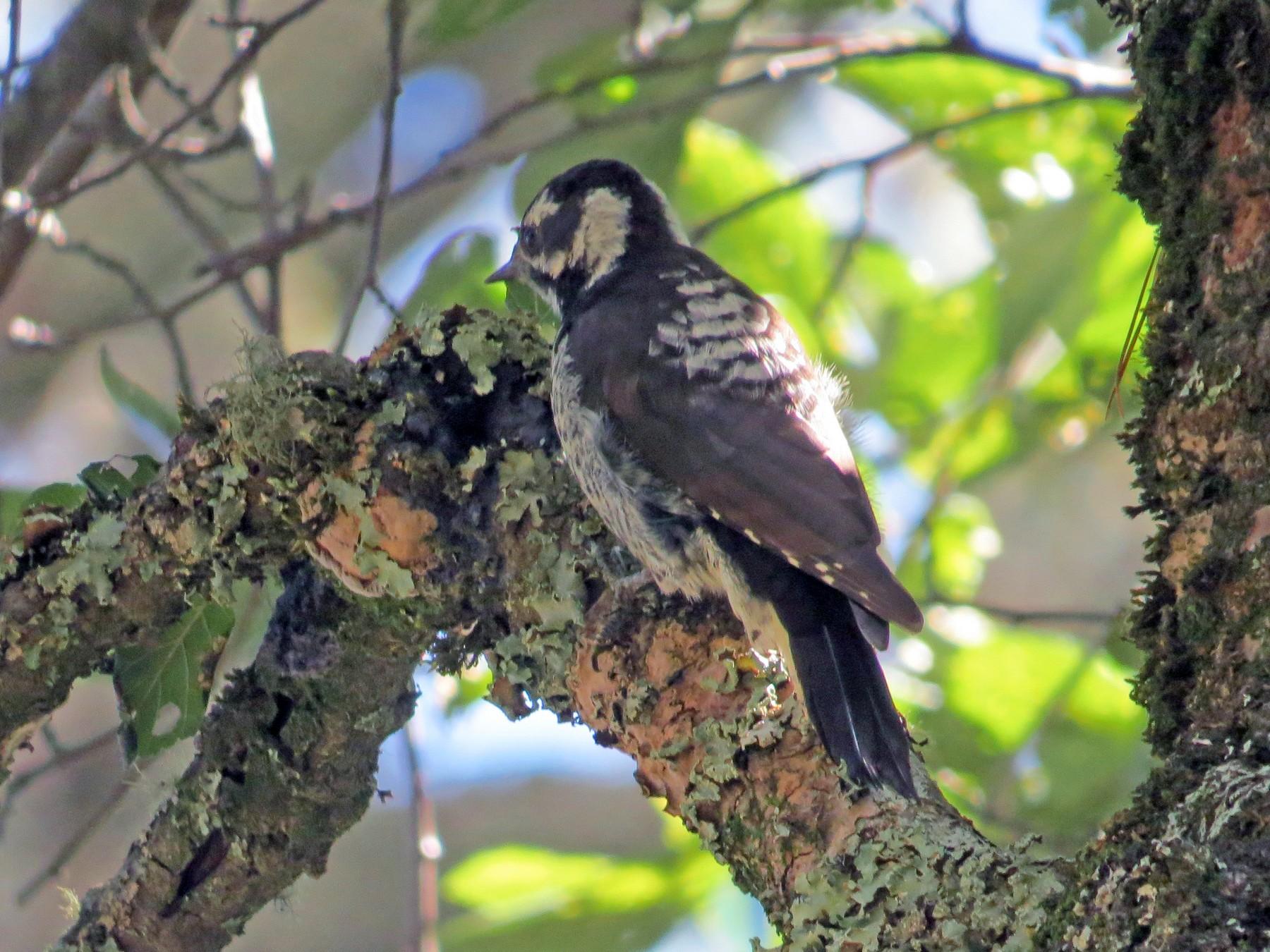 Strickland's Woodpecker - Gerardo Marrón