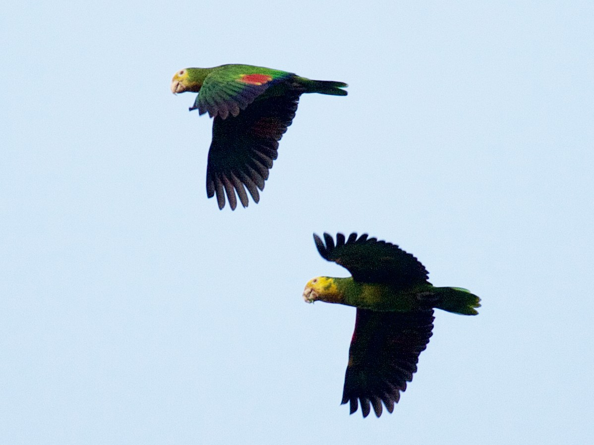 Yellow-headed Parrot - Matt Brady