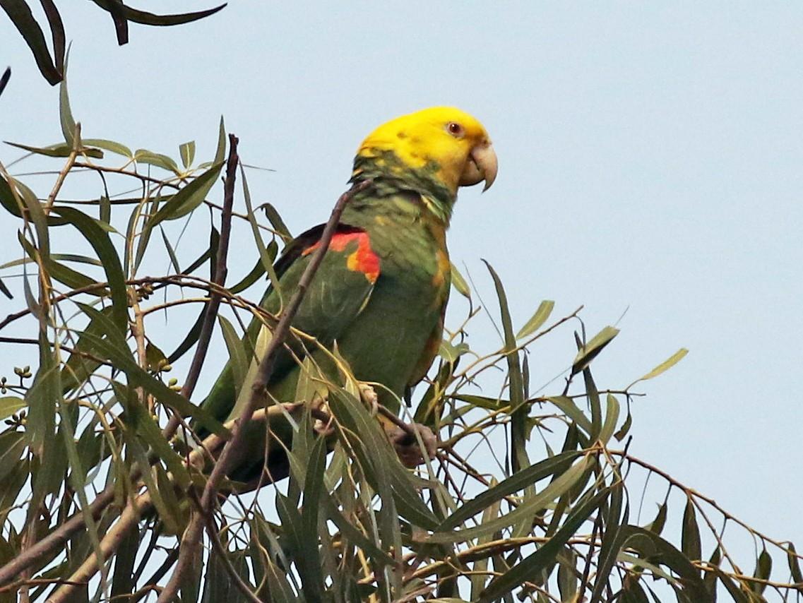 Yellow-headed Parrot - Dan Jones