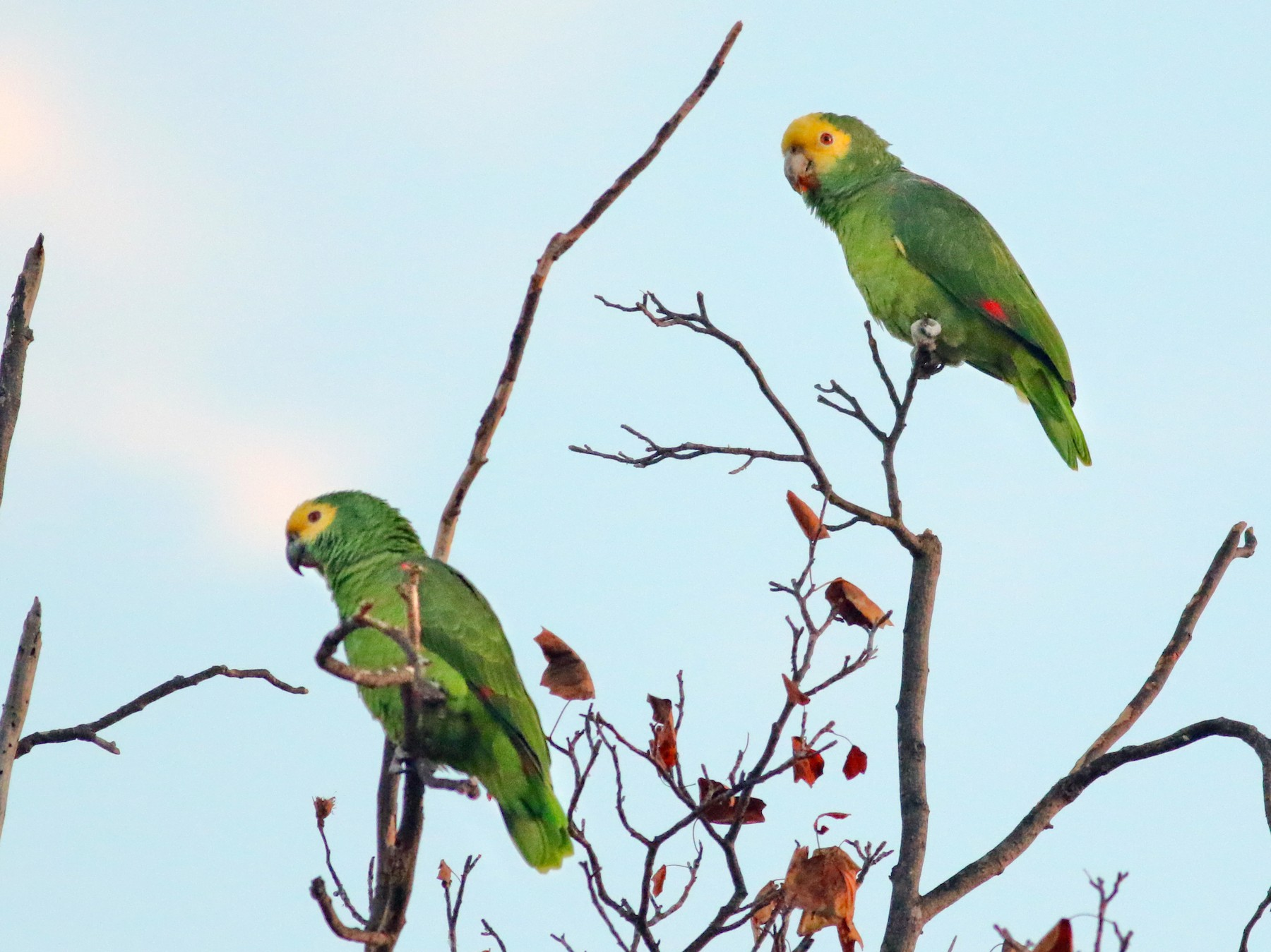 Yellow-headed Parrot - Thomas Ford-Hutchinson