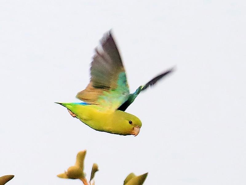 Mexican Parrotlet - manuel grosselet