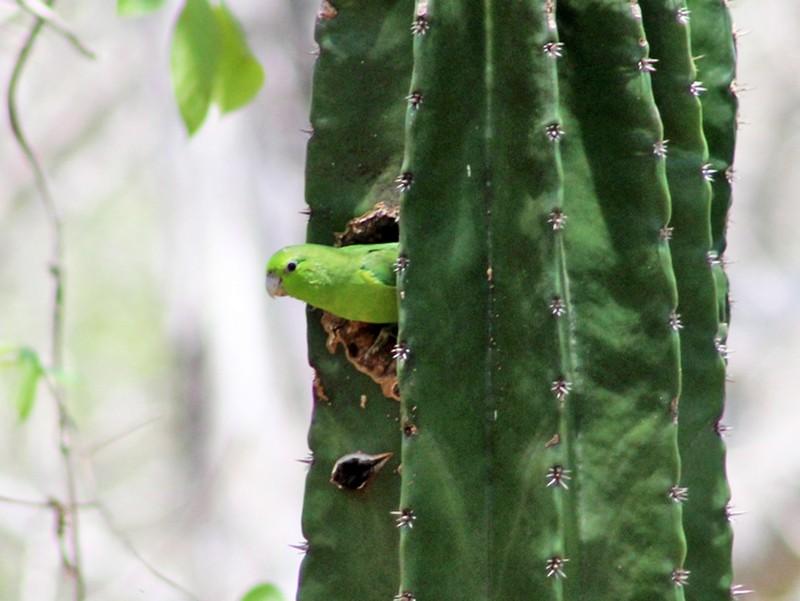 Mexican Parrotlet - Julio Alejandro Alvarez Ruiz