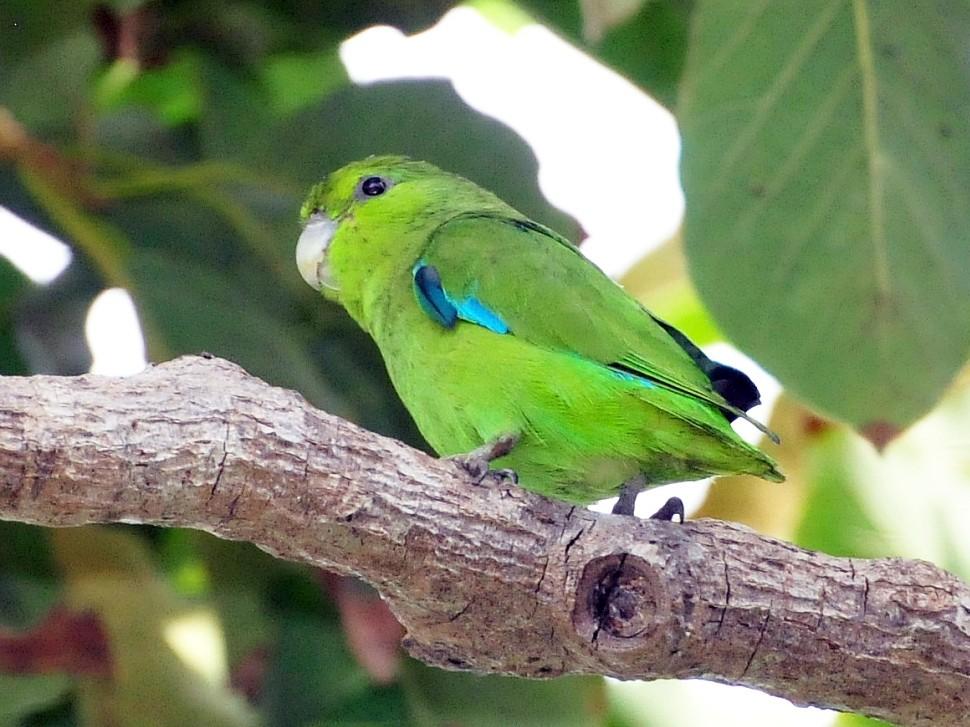 Mexican Parrotlet - Joel Trick