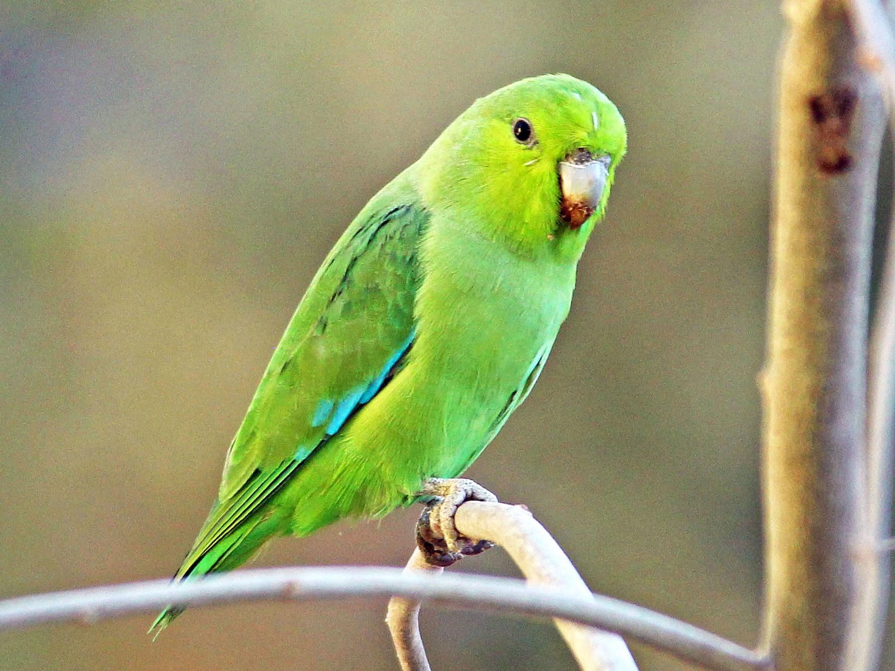 Mexican Parrotlet - Ken Murphy