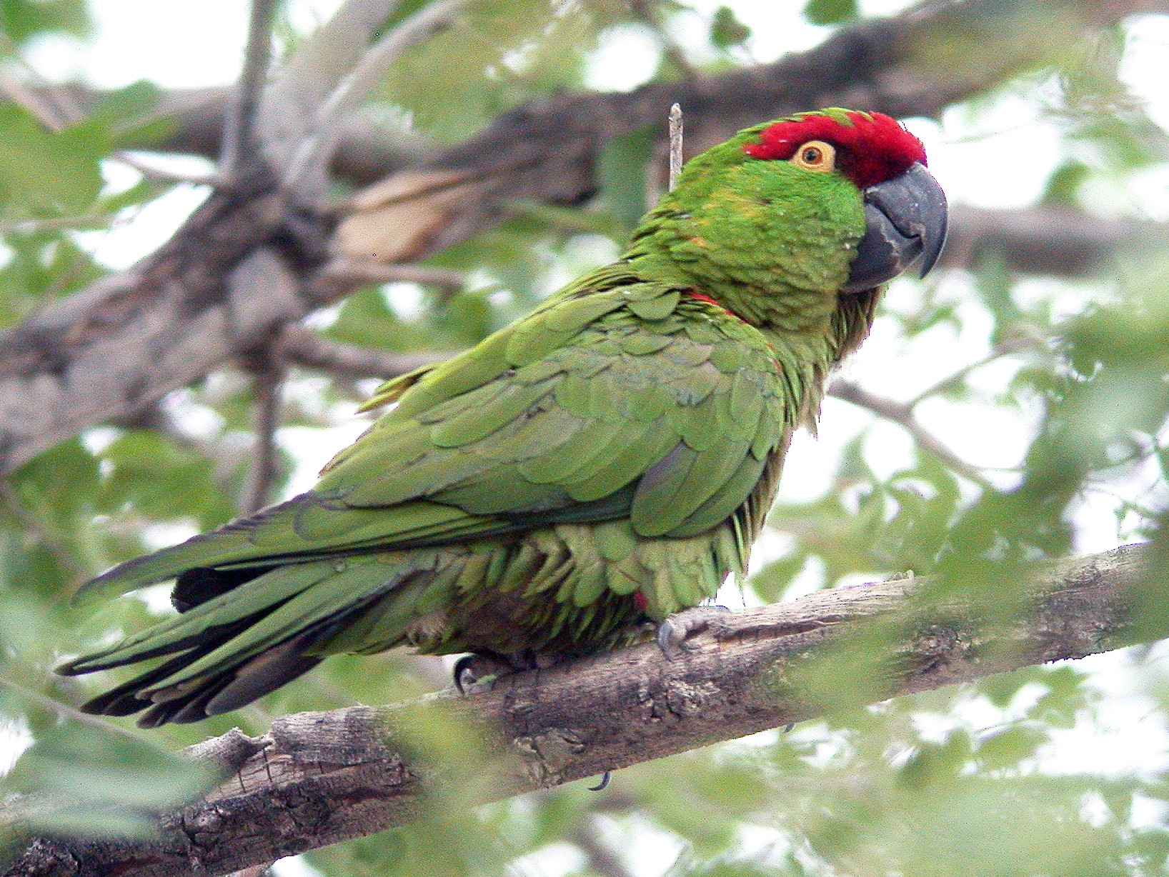 Thick-billed Parrot - Chris Wood