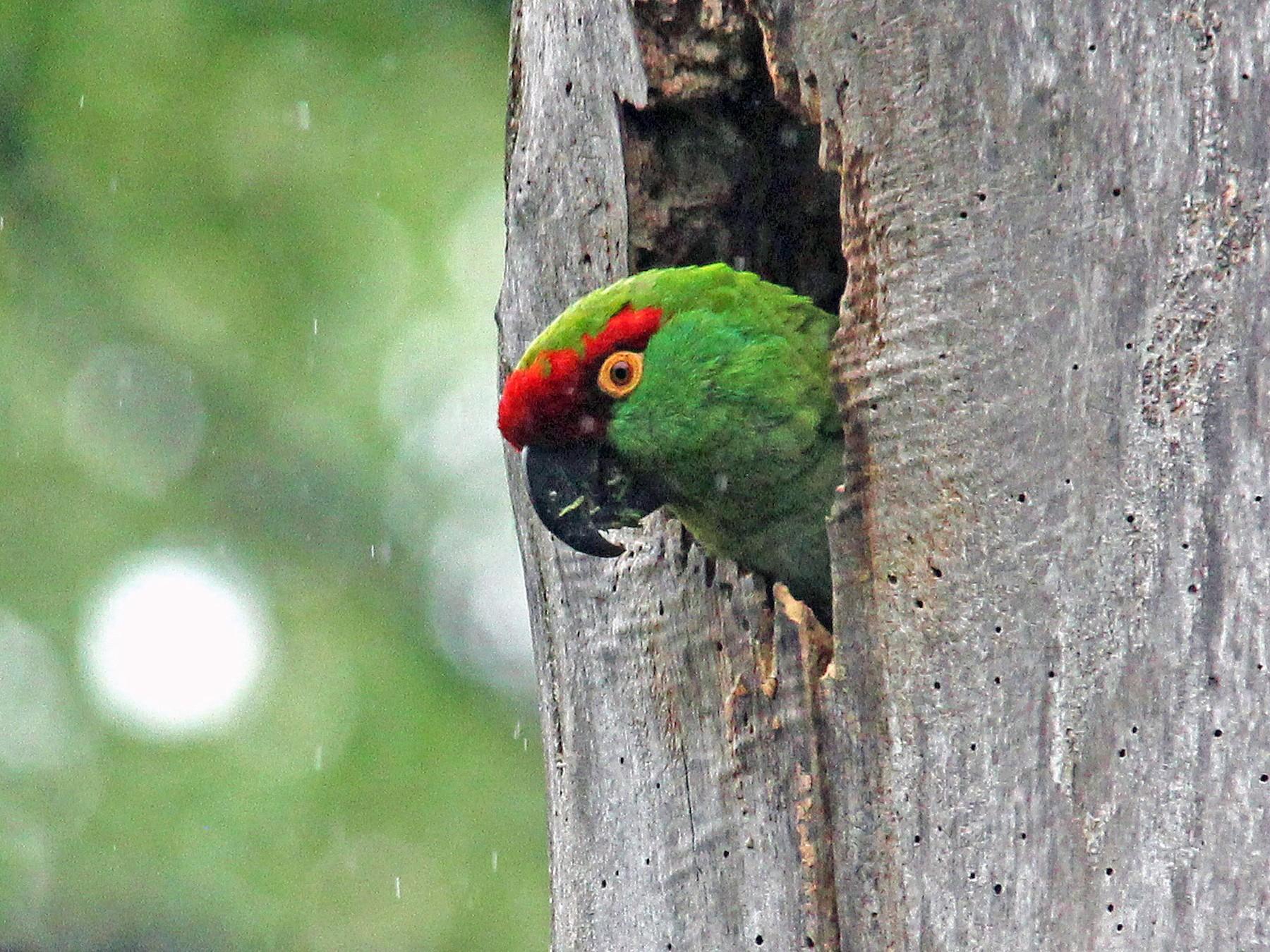 Thick-billed Parrot - Ken Murphy