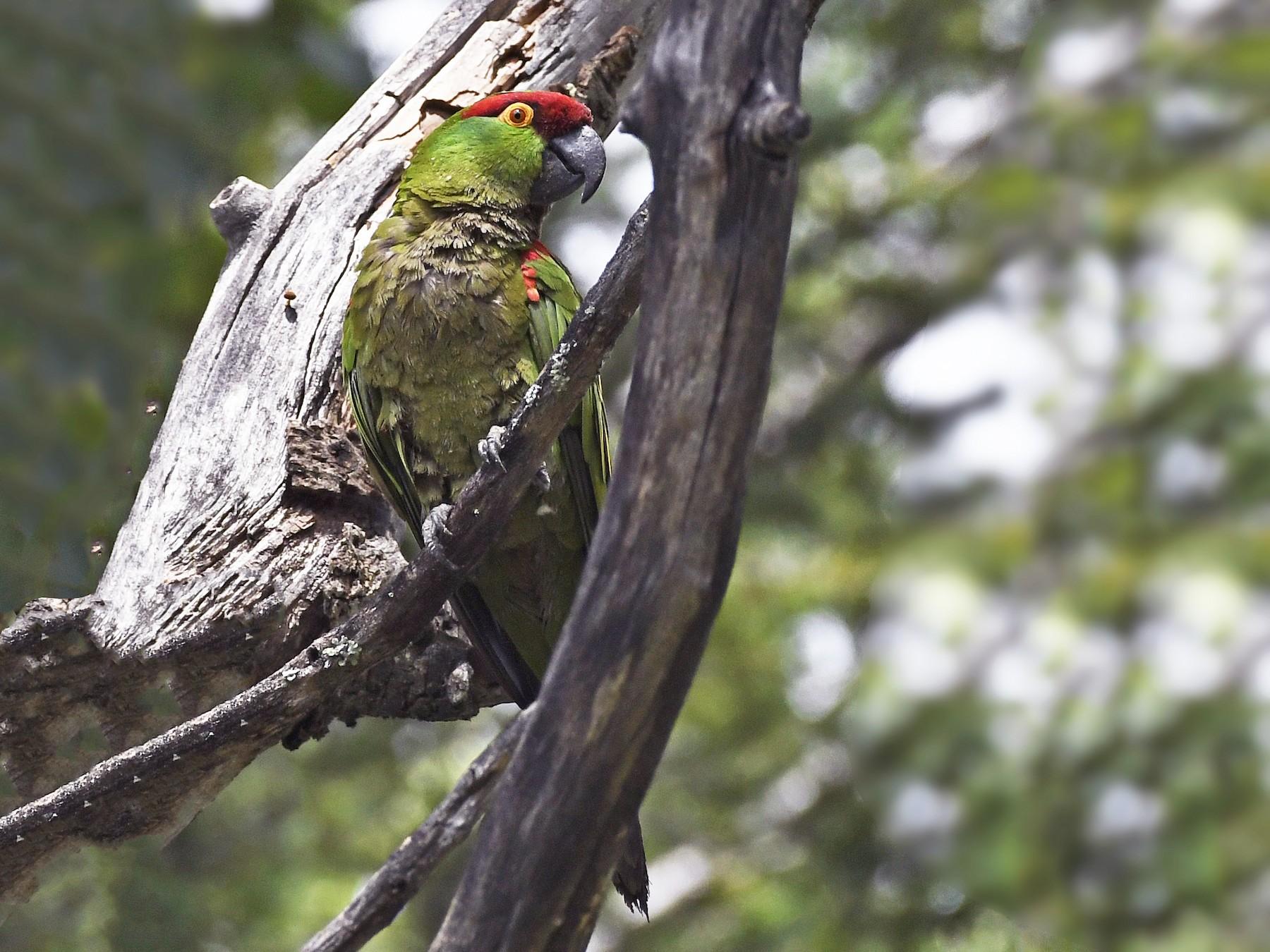 Thick-billed Parrot - David Krueper