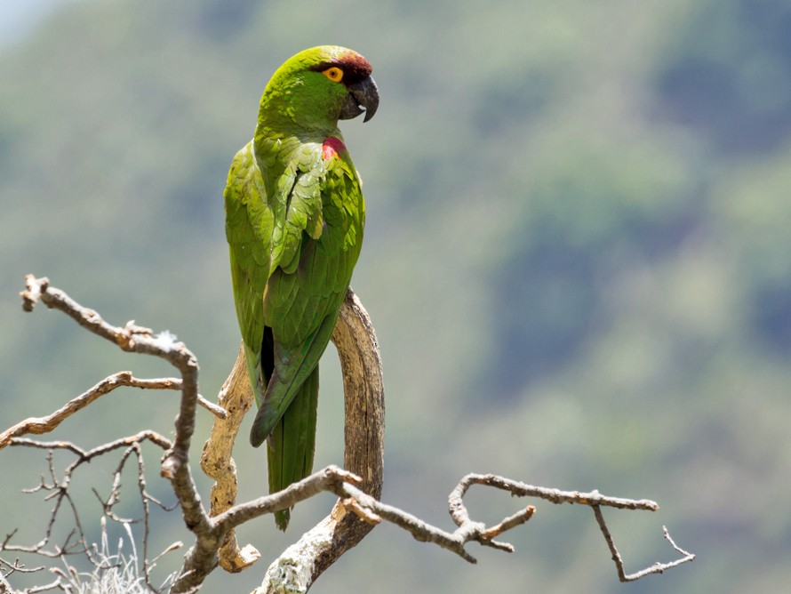 Maroon-fronted Parrot - Rolando Chávez