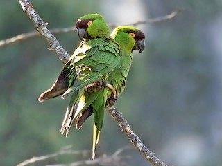- Maroon-fronted Parrot