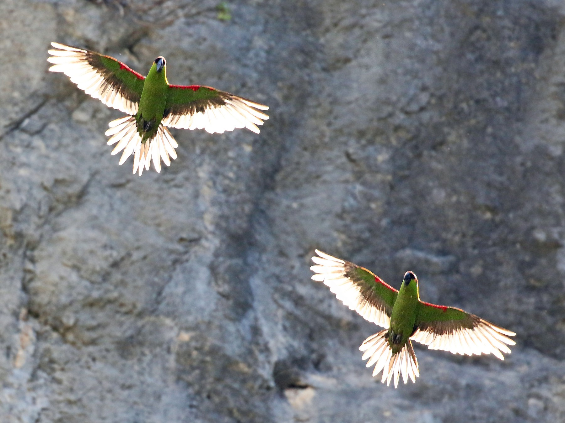 Maroon-fronted Parrot - Andrew Spencer