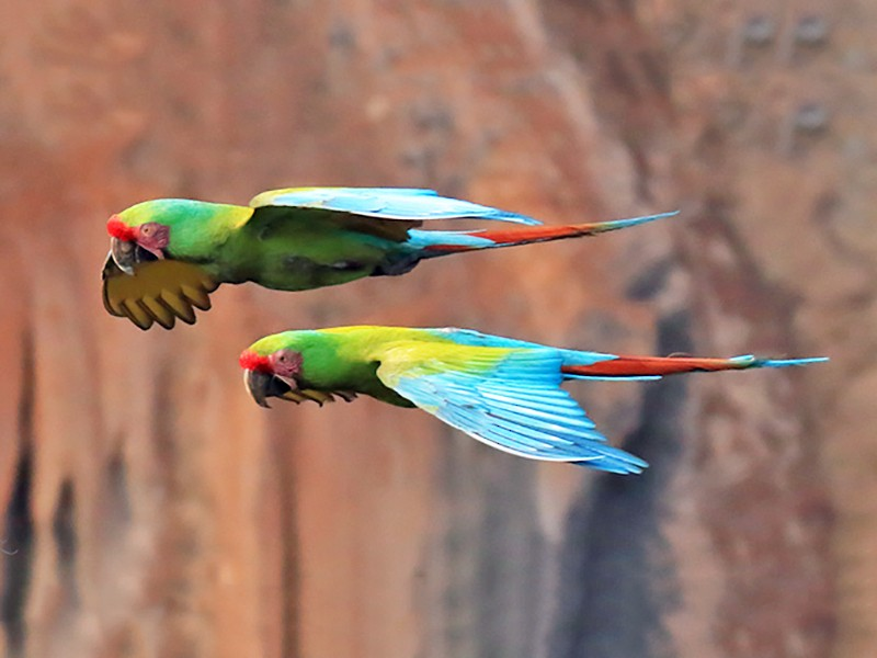 Military Macaw - manuel grosselet
