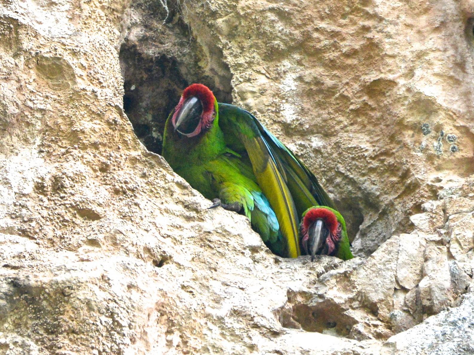 Military Macaw - Alan Van Norman