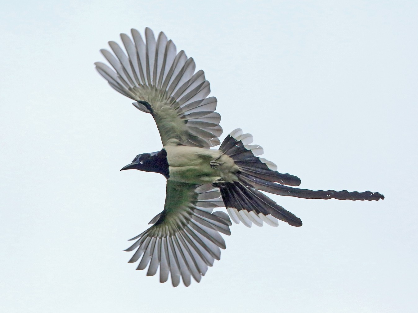 Black-throated Magpie-Jay - Nigel Voaden