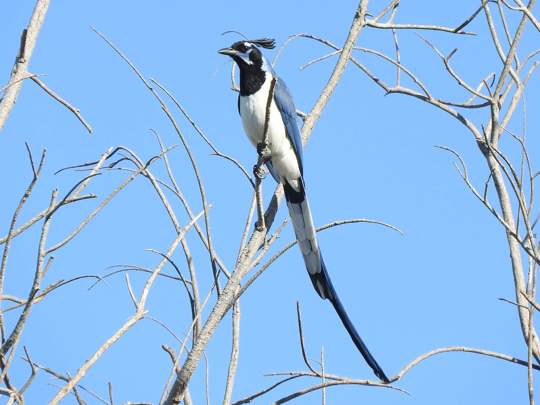Black-throated Magpie-Jay - Sam S