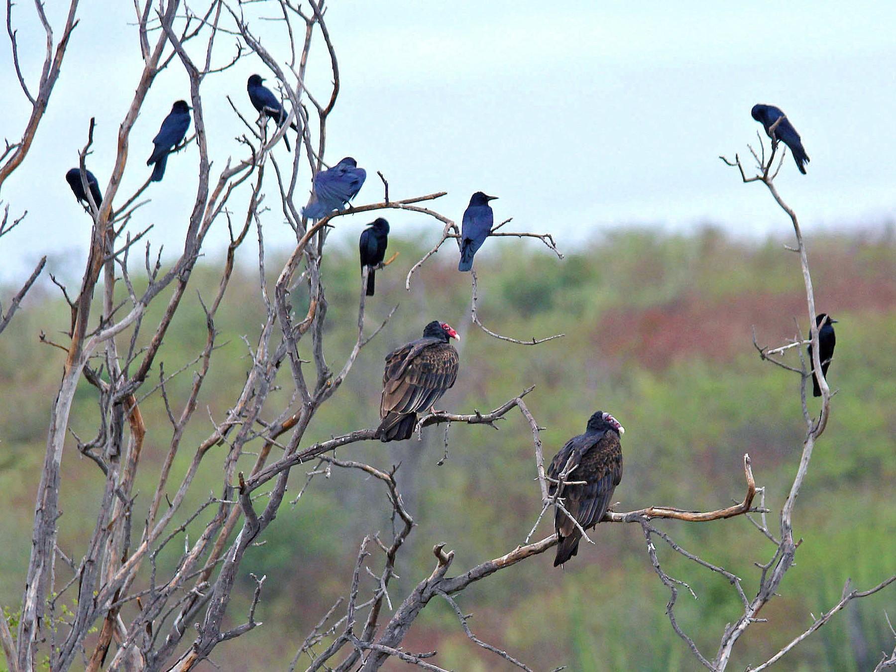 Sinaloa Crow - Ken Murphy