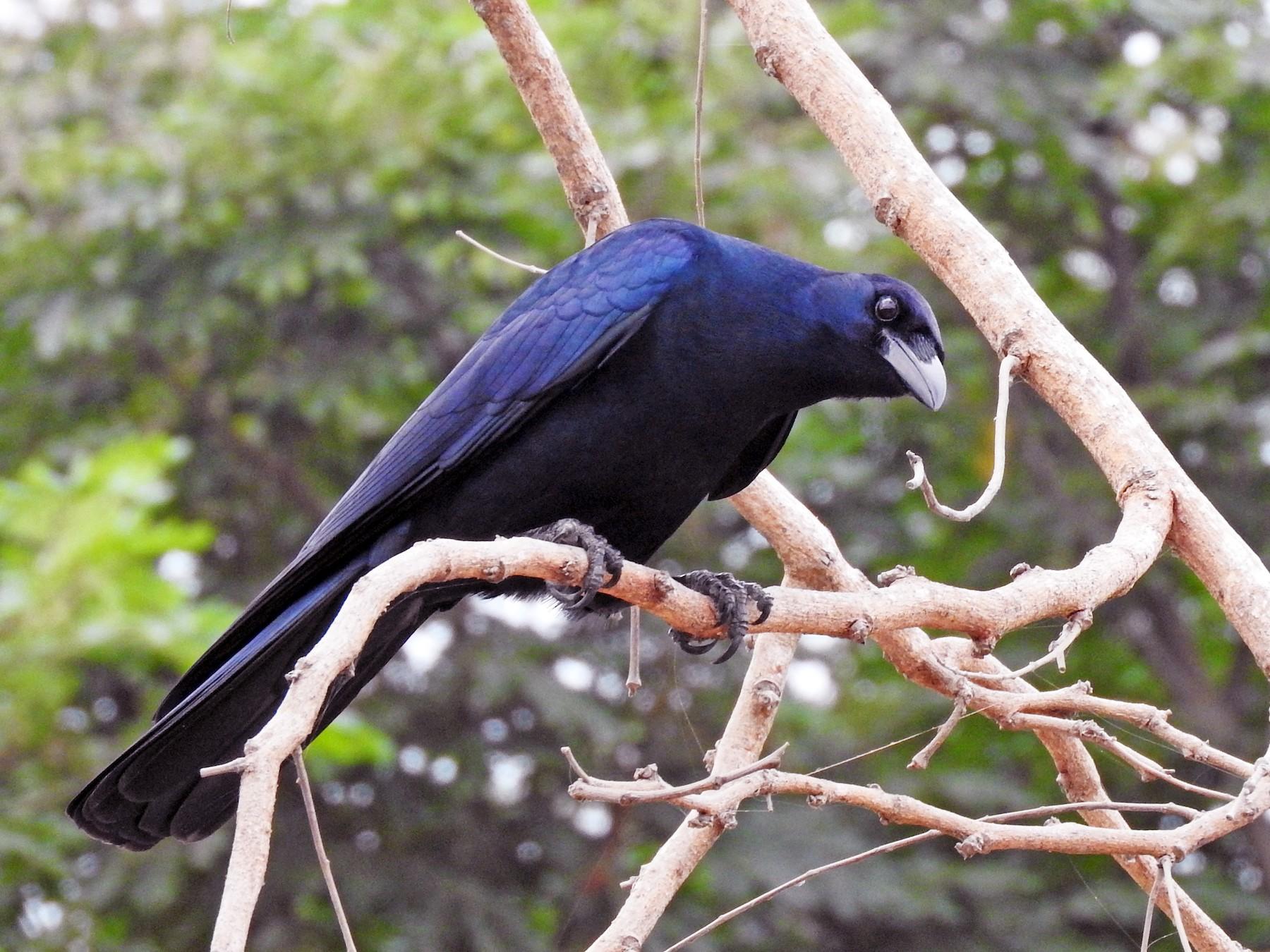 Sinaloa Crow - Cole Gaerber