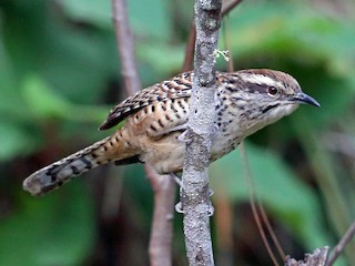 - Spotted Wren