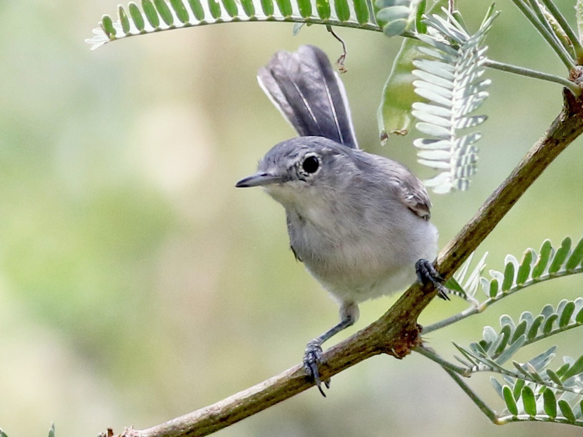 Black-capped Gnatcatcher - Jay McGowan
