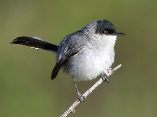 - Black-capped Gnatcatcher