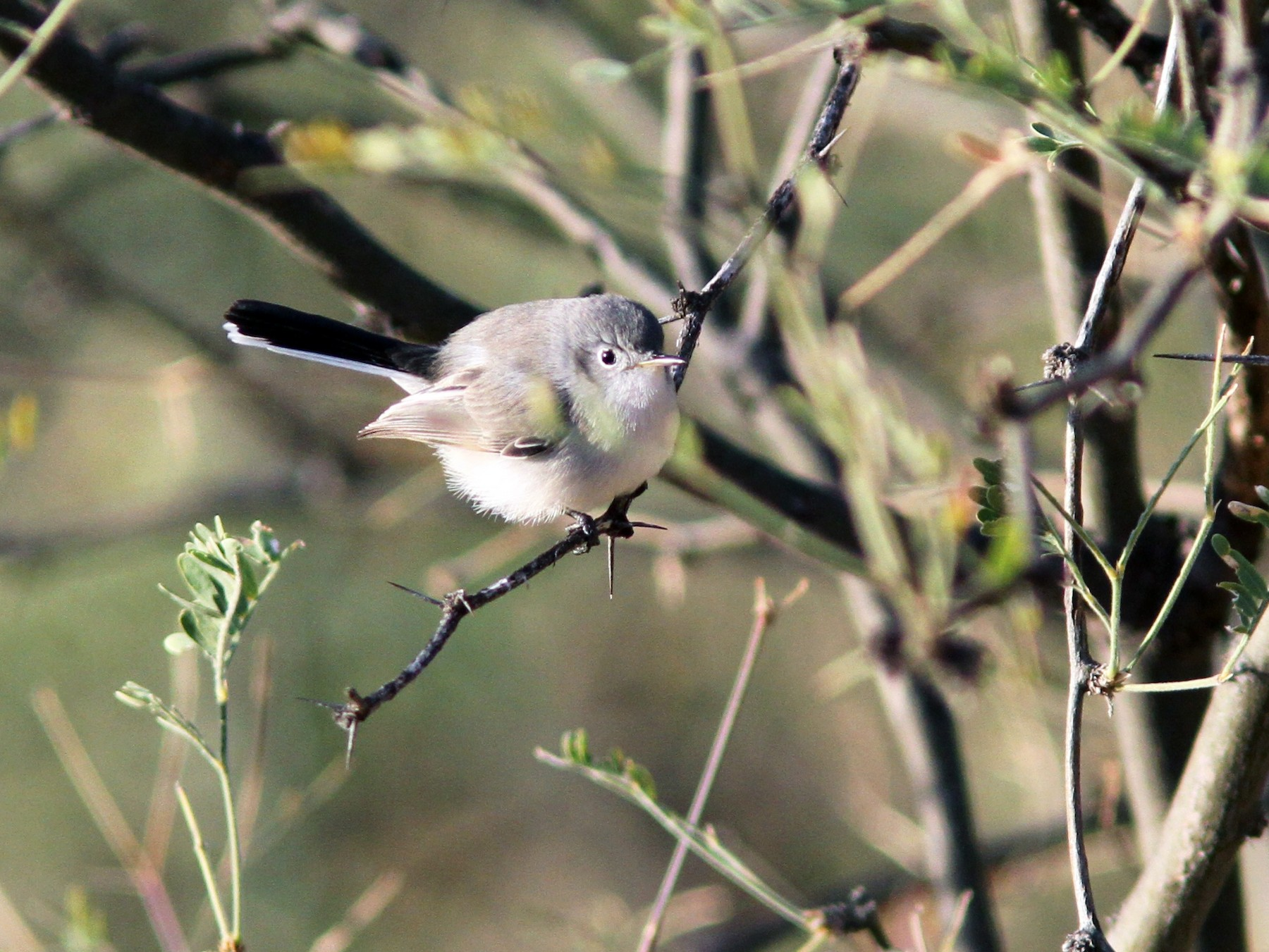 Black-capped Gnatcatcher - Sean Fitzgerald