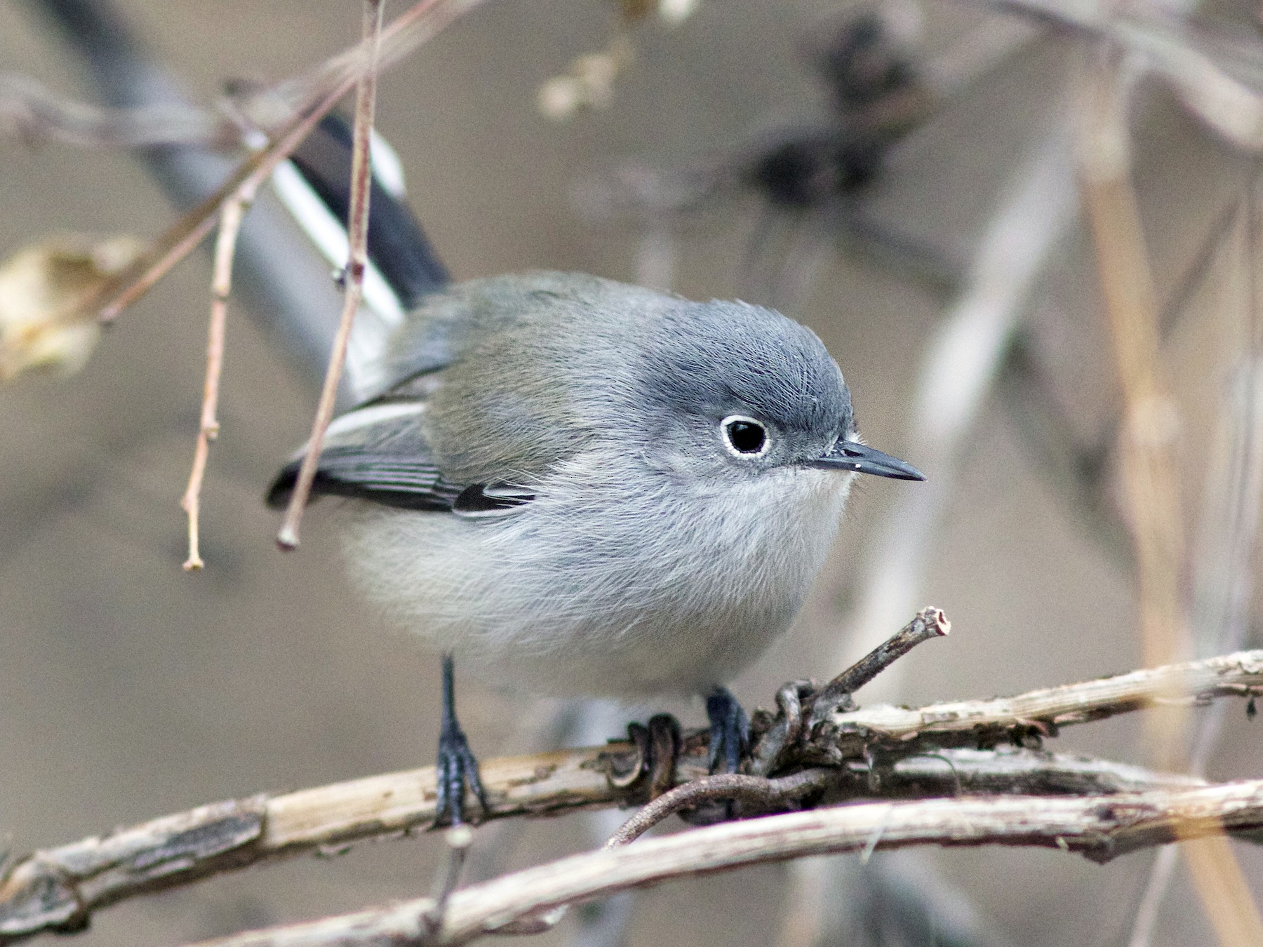 Black-capped Gnatcatcher - Doug Hitchcox